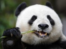 """المانيا والصين تدشنان """"دبلوماسية الباندا"""" قبل قمة العشرين"""