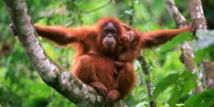 باحثون يكتشفون نوعا جديدا من إنسان الغاب في إندونيسيا