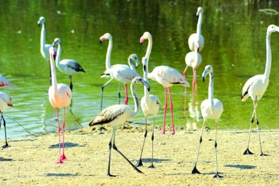 عشرات الدول تلتزم بالحفاظ على الطيور المائية المهاجرة