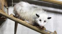 حزن في حديقة حيوان ألمانية لوفاة الفأر الجرابي (هايدي) أحور العينين