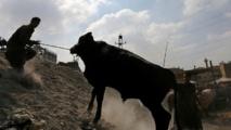 مصر.. أضحية تقتل جزارا وتصيب 9 أشخاص وتفر هاربة