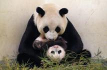 حديقة الحيوانات في برلين تتأهب لاستقبال مولود باندا جديد