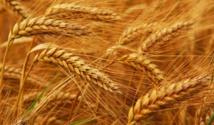 الغذاء الصديق للبيئة..خبز ألماني من قمح عمره 10 آلاف عام