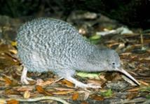 نيوزيلندا حائرة بين طائر الكيوي رمزها الوطني والقطط.