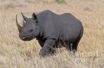الجهود الدولية لحماية وحيد القرن الأسود الأفريقي تؤتي ثمارها