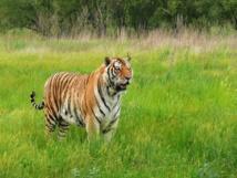 ماذا يحدث عندما تقتل النمور الإنسان... وكيف نمنع ذلك؟
