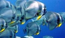 دراسة ألمانية تنهي الأساطير المتداولة عن سر العظام الملونة لسمك أبو منقار