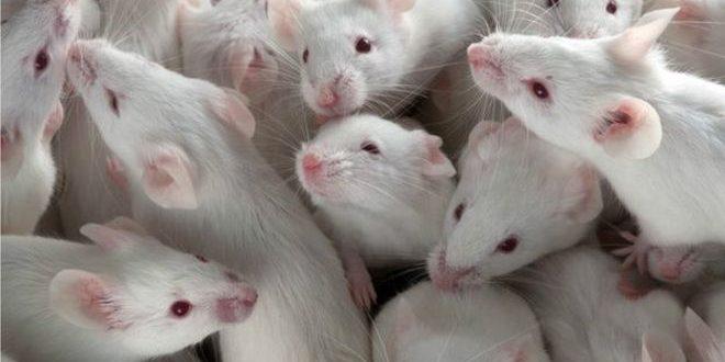 بروتين من حبل السرة يحسن قدرة المخ لدى الفئران العجوزة