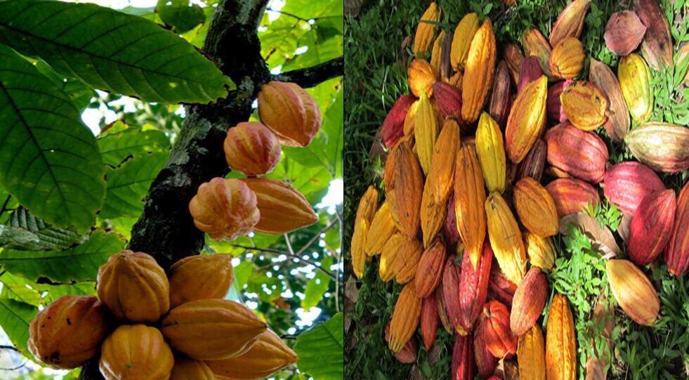 علماء يعثرون على دليل أصل الكاكاو في أمريكا الجنوبية