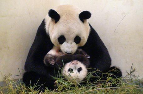 الباندا مينج مينج تضع تؤاما في حديقة حيوانات في برلين