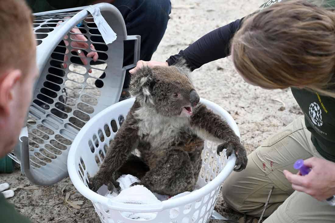 الكلب بير ينقذ أكثر من 100 كوالا من حرائق الغابات الأسترالية