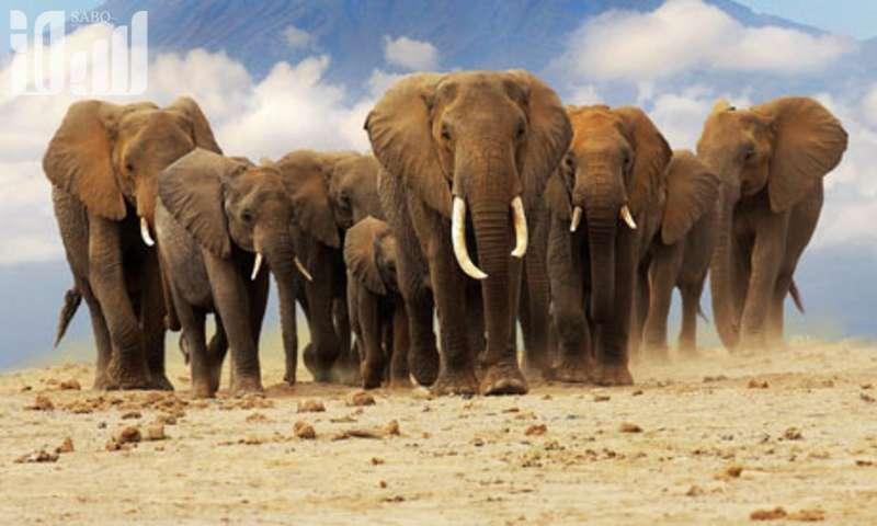 تنظيم نسل الأفيال بجنوب أفريقيا حل للصراع على الموارد مع السكان