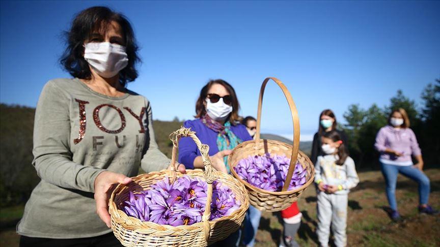 حقول الزعفران بتركيا مناطق تجذب السياح لموطن أغلى نبات بالعالم