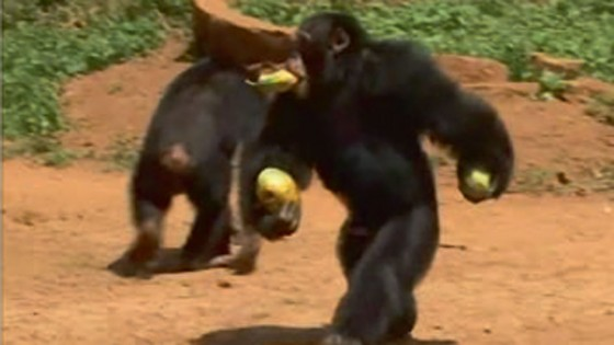 """علماء يبحثون عن سبب رمي """"قردة الشمبانزي""""الحجارة على الأشجار"""