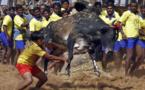 الآلاف يتظاهرون في الهند احتجاجا على حظر رياضة ترويض الثيران التقليدية