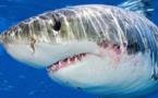 ضربات متتالية ولكمات لسمكة قرش تُنقِذ راكب أمواج أسترالي من موت محقق
