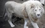 حكومة جنوب افريقيا تقرر  بيع أسد أبيض نادر بالمزاد العلني
