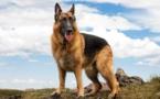 """""""كلب الآثار""""... فلينتستون، أول كلب ألماني ينقب عن عظام البشر"""