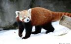 """العثور على باندا أحمر بعد""""عطلة مفاجئة""""من حديقة حيوان بلفاست"""