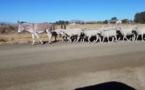 الحمير تثبت جدارتها في حراسة قطعان الماشية ضد الكلاب البرية