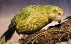 تجارب علمية للمساعدة على إكثار الببغاء - البومة المهدد بالانقراض