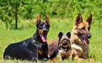 الكلاب العمياء تحتاج لأسنان صحية لتحسين حاسة الشم