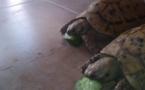 سباق السلاحف صرعة جديدة تكتسب جماهير كبيرة في السودان