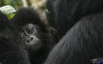 علماء يلتقطون أول صور لقطيع غوريلا مهدد بالانقراض