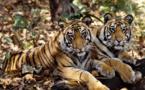 إحصاء النمور الهندية يحقق رقما قياسيا كأكبر مسح عالمي بالكاميرات