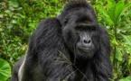 أوغندا.. حكم  بسجن صياد ١١ عاما قتل غوريلا مهددة بالانقراض