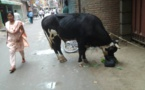 متطوع ينذر حياته لإنقاذ أبقار نيبال الهائمة ورعايتها