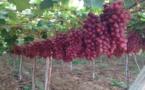 روسيا تبحث عن مكانة في سوق النبيذ العالمية