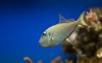 اكتشاف فصيلة من الأسماك يمكنها التزاوج بعد 17 يوما من خروجها للحياة